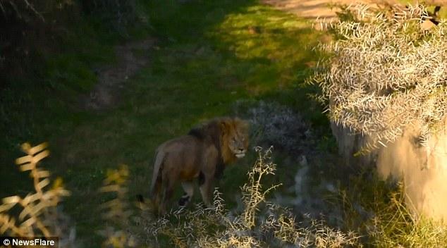 Video: Khoảnh khắc sư tử trượt chân, ngã nhào xuống thác nước 6