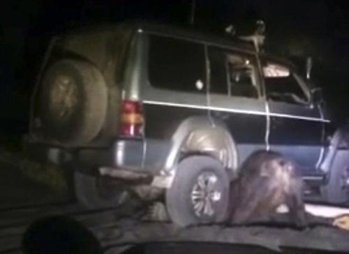 Gấu Nga cắn thủng lốp xe UAV sau khi nổi giận vì bị đâm xe  1
