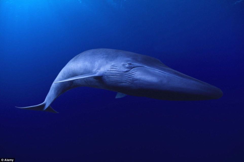 Khoảnh khắc hiếm: Sinh vật lớn nhất thế giới xuất hiện ở Anh 3