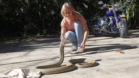 Hoang mang vì rắn hổ mang chúa có nọc độc đủ giết 20 người xổng chuồng 1