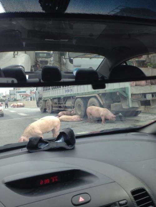 Video: Lợn chặn đầu xe gây náo loạn đường cao tốc trên cao 1