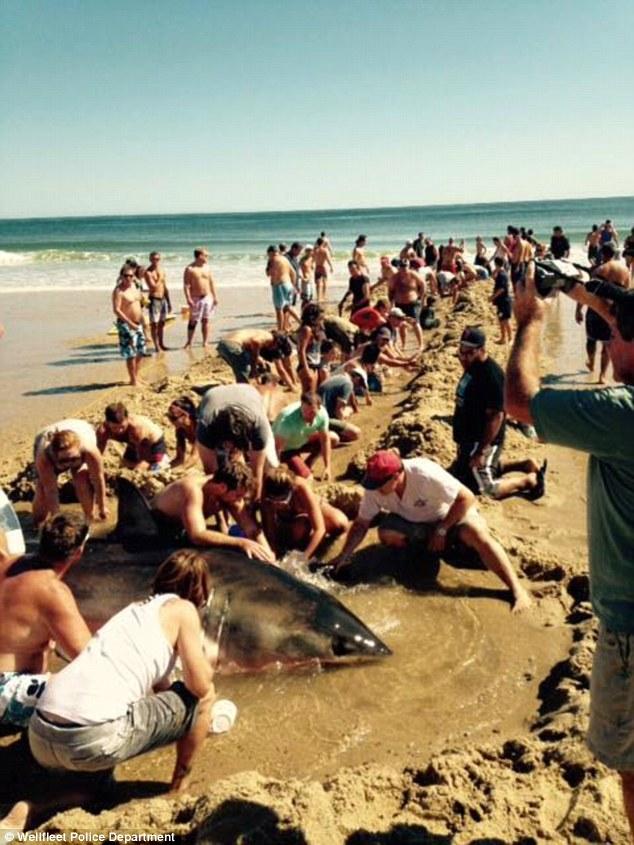 Giải cứu cá mập trắng khổng lồ mắc cạn trên bãi biển 1