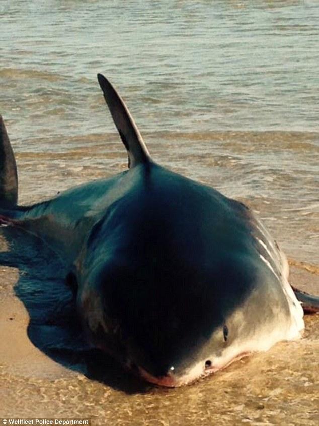 Giải cứu cá mập trắng khổng lồ mắc cạn trên bãi biển 4