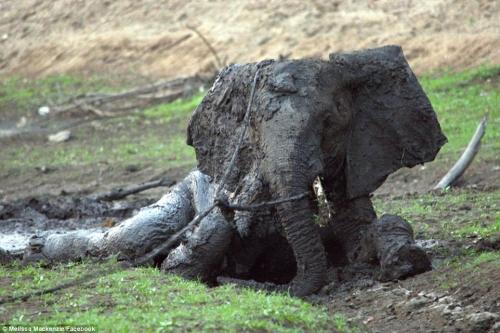 Tuyệt vọng giải cứu voi con đang hấp hối trong bùn lầy 1