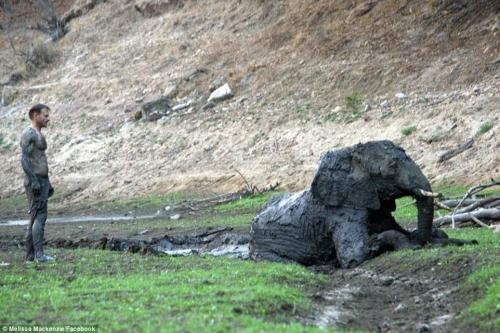 Tuyệt vọng giải cứu voi con đang hấp hối trong bùn lầy 4