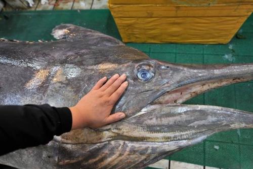Bắt được cá kiếm dài 4 mét, nặng hơn 300 kg ở Trung Quốc 4
