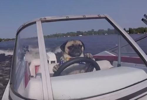 Chú chó siêu thông minh tự lái tàu thủy tốc độ cao 2