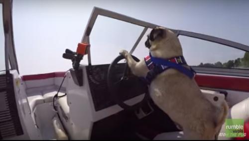 Chú chó siêu thông minh tự lái tàu thủy tốc độ cao 1