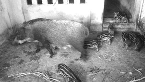 Hình ảnh 9x bỏ việc, về quê nuôi lợn kiếm 100 triệu/tháng số 3