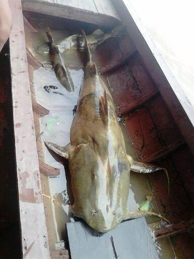 Cá chiên 'tiến vua' khổng lồ nặng 35kg giá 40 triệu đồng ở Hà Nội 1