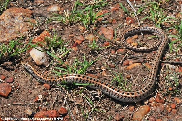 Cận cảnh sinh vật kỳ lạ thân rắn có chân thằn lằn 2