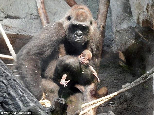 Rơi nước mắt trước cảnh khỉ mẹ tuyệt vọng lay tỉnh khỉ con đã chết 5