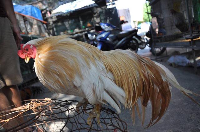 Hình ảnh Những con gà giá hơn 50 triệu đồng của đại gia Việt số 2