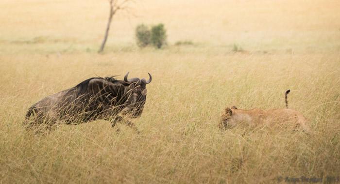 Sư tử bỏ chạy không dám lại gần linh dương trong lần săn mồi đầu tiên 1