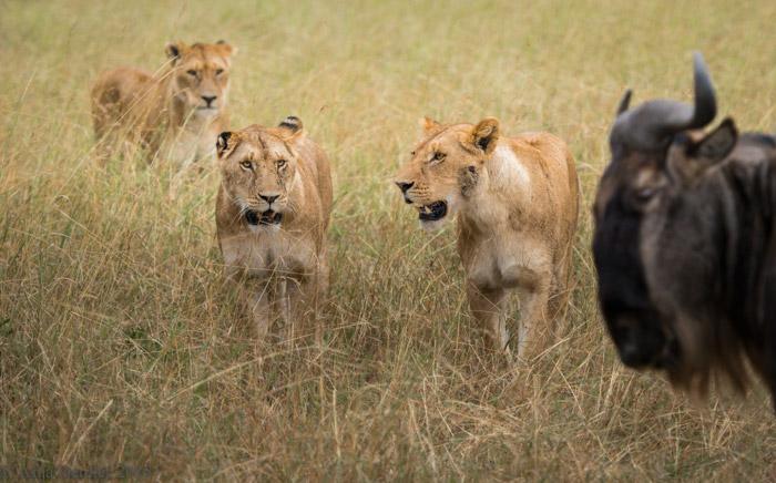 Sư tử bỏ chạy không dám lại gần linh dương trong lần săn mồi đầu tiên 3