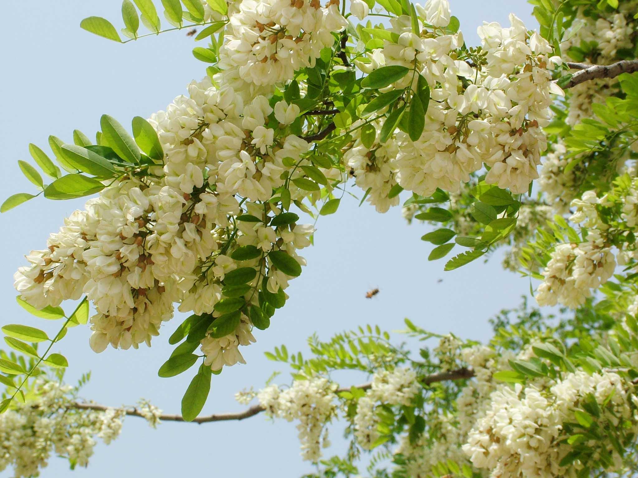 Kết quả hình ảnh cho hoa hòe