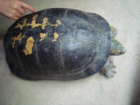 Đổ xô xem 'cụ rùa' hơn trăm tuổi, có hình thù kỳ lạ ở Nghệ An 1