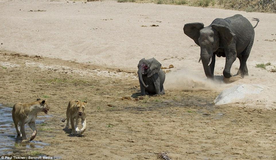 Voi mẹ gào thét tuyệt vọng nhìn đàn sư tử đói xẻ thịt con 2