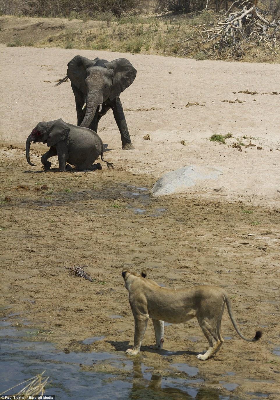 Voi mẹ gào thét tuyệt vọng nhìn đàn sư tử đói xẻ thịt con 3