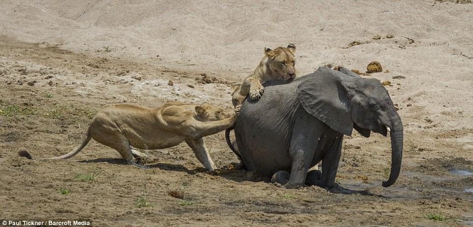 Voi mẹ gào thét tuyệt vọng nhìn đàn sư tử đói xẻ thịt con 4