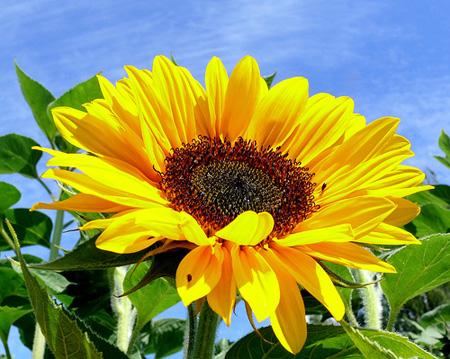 Hoa hướng dương và bài thuốc chữa bệnh hiệu quả 1