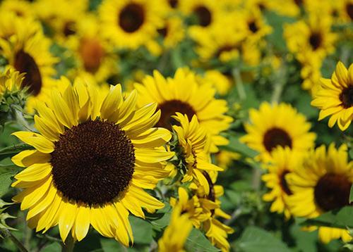 Hoa hướng dương và bài thuốc chữa bệnh hiệu quả 2