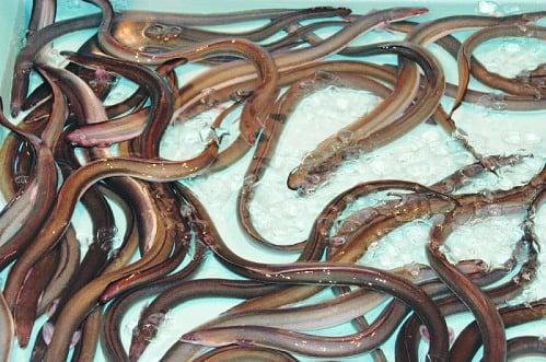 Vỗ béo lươn vàng ươm bằng thuốc tránh thai 2