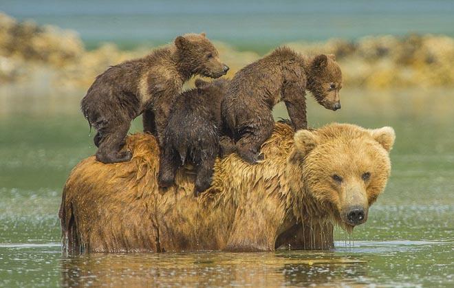 Sư tử, sơn dương mẹ quyết chiến với trăn khổng lồ để cứu con 1