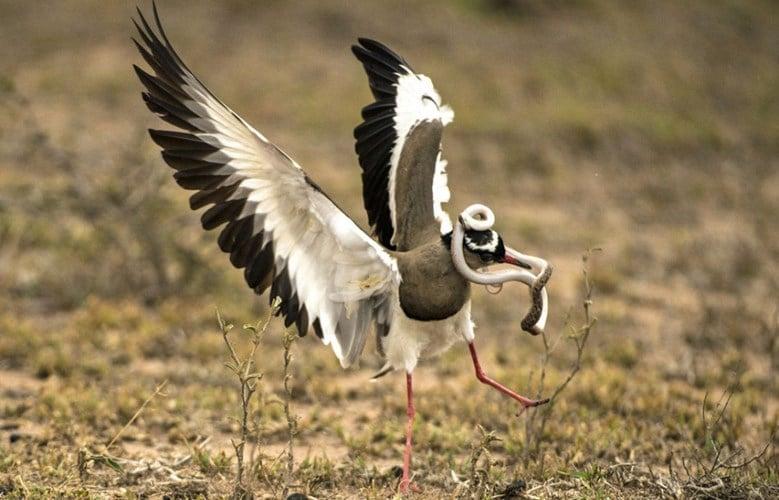 Chim mẹ điên cuồng tấn công trả thù rắn độc nuốt trứng chim con 1