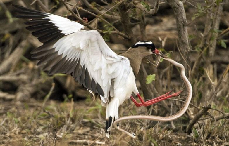 Chim mẹ điên cuồng tấn công trả thù rắn độc nuốt trứng chim con 3