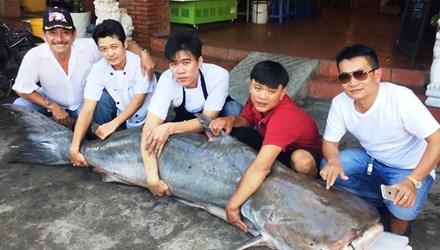 Cá tra dầu 210kg từ Campuchia về nhà hàng Việt 1