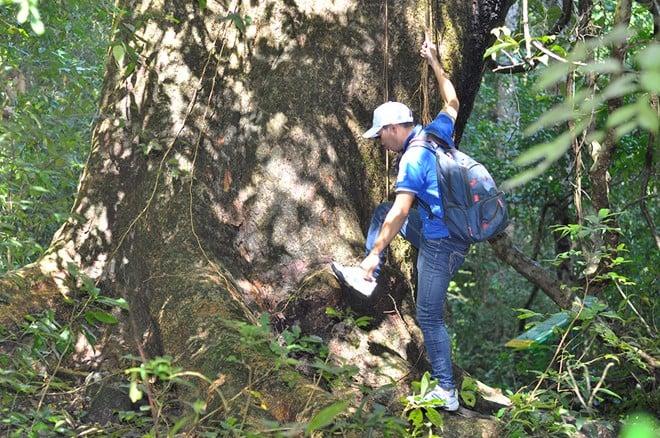 Tận mục cây cổ thụ xanh tươi suốt 7 thế kỷ 1