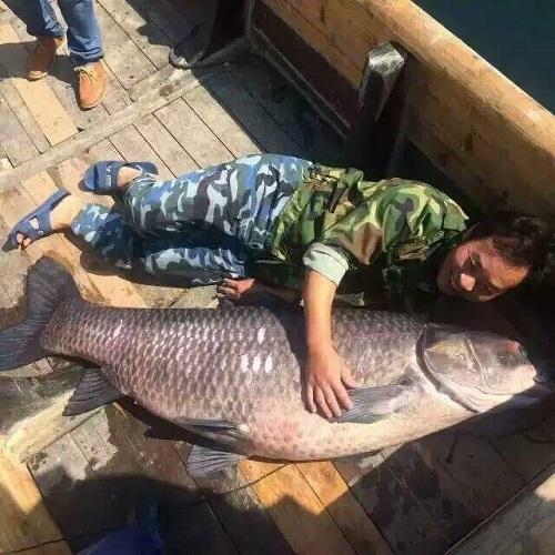 Bắt được cá trắm đen hoàng đế 'khổng lồ' nặng 90kg 1
