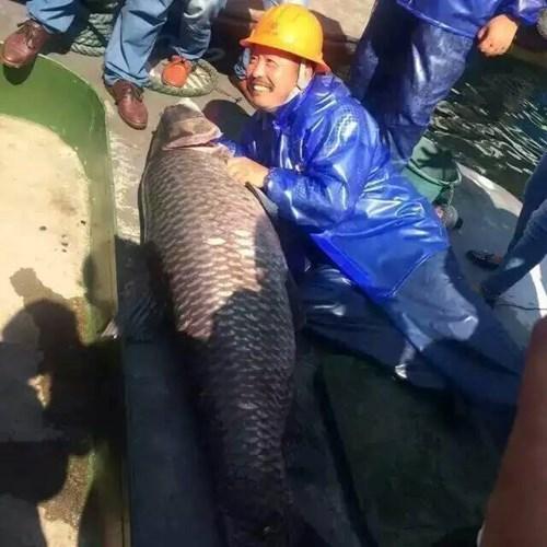 Bắt được cá trắm đen hoàng đế 'khổng lồ' nặng 90kg 2