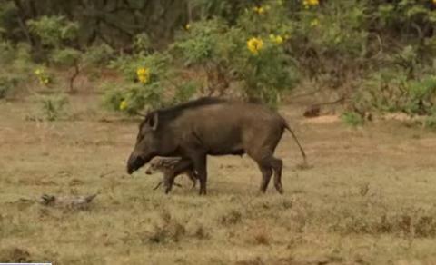 Lợn rừng mẹ điên cuồng quyết chiến với báo đốm cứu con 1