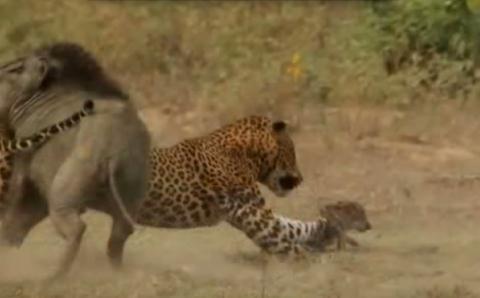 Lợn rừng mẹ điên cuồng quyết chiến với báo đốm cứu con 2