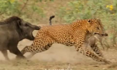 Lợn rừng mẹ điên cuồng quyết chiến với báo đốm cứu con 3