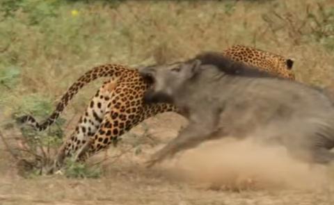 Lợn rừng mẹ điên cuồng quyết chiến với báo đốm cứu con 4