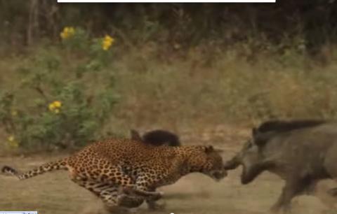 Lợn rừng mẹ điên cuồng quyết chiến với báo đốm cứu con 5