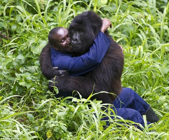 Tình bạn giữa khỉ đột khổng lồ và con người ở rừng sâu 2