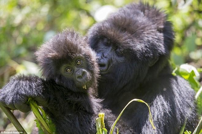 Tình bạn giữa khỉ đột khổng lồ và con người ở rừng sâu 6