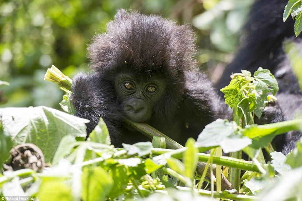 Tình bạn giữa khỉ đột khổng lồ và con người ở rừng sâu 1