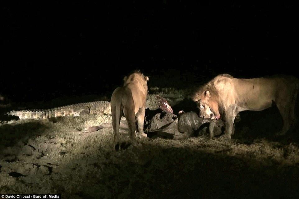 Cá sấu một mình quyết chiến với hai con sư tử đói  2