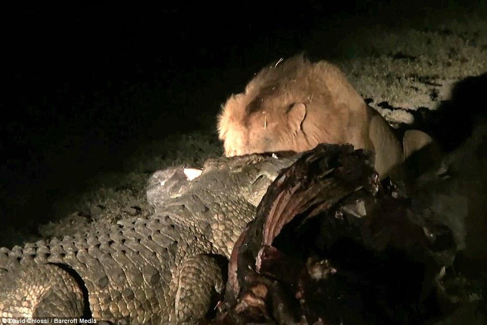 Cá sấu một mình quyết chiến với hai con sư tử đói  3
