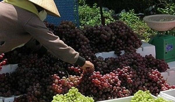 Nho Ninh Thuận 3.000 đồng/kg, bán ra cao gấp 5 lần 1