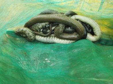 Phát hiện 2 người đàn ông mặc áo nhà sư thả rắn lúc nửa đêm 1