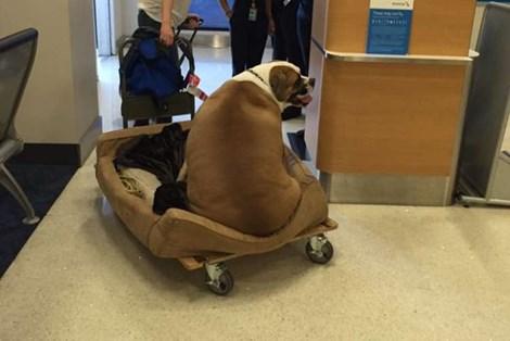 Chú chó 74kg đi máy bay vé hạng nhất gây sốt mạng xã hội 1