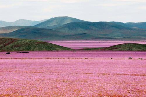 Cận cảnh cánh đồng hoa đẹp hút hồn hồi sinh ở sa mạc khô cằn nhất thế giới 1