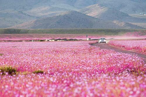 Cận cảnh cánh đồng hoa đẹp hút hồn hồi sinh ở sa mạc khô cằn nhất thế giới 2