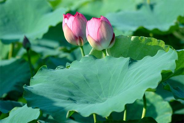 Lá sen, hoa sen và những công dụng bất ngờ đối với sức khỏe 4